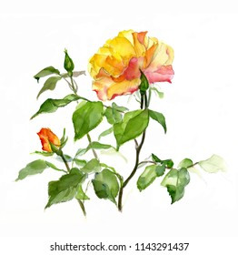 Rose branches  with yellow flowers and buds  on a white background,  watercolor sketch, hand drawing