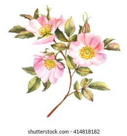 Rose Carolina bush in blossom watercolor illustration