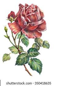 Rose color pencil, illustration