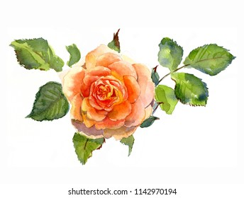 Rose flower with leaves, watercolor Botanical sketch isolated on white background