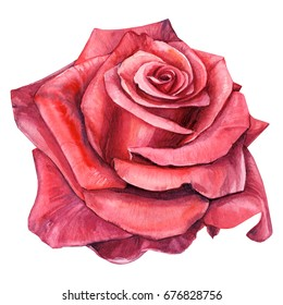 rose flower on white isolated background, watercolor