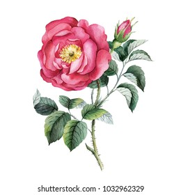 Rose Gallic. Watercolor botanical rose. Isolated on white background for your design, beautiful detail for background