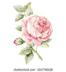 Rose. Hand-drawn watercolor botanical illustration. Realistic isolated object on a white background for your design