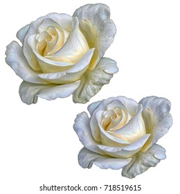 Rose on white background.  Flowers. Isolated. Stylization: watercolor.