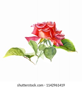 Rose red with leaves, watercolor Botanical sketch, isolated