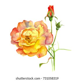 Rose yellow and cream, on a branch with a Bud, watercolor painting