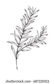 Rosemary. Black and white graphic rosemary picture. Illustration graphic rosemary. Picture for kitchen, cafe, restaurant and design interior.