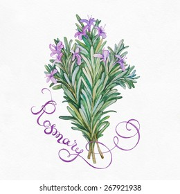 Rosemary herb on a white background.  Watercolor illustrations.