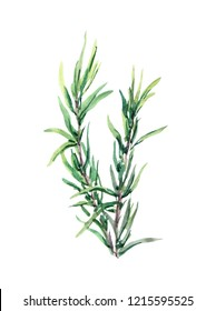 Rosemary herb, plant. Watercolor