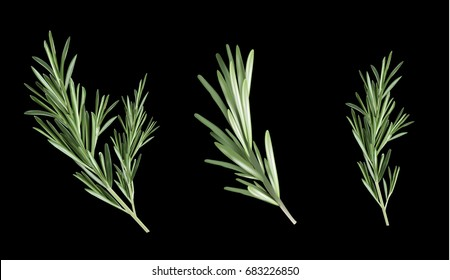 Rosemary herb and spice on a black background. Rosemary illustration for design. Set rosemary collection.
