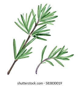 Rosemary herb. Watercolor Botanical illustration.