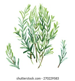 Rosemary painted with watercolors on white background