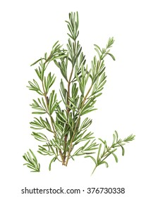 Rosemary Pencil Drawing Isolated on White