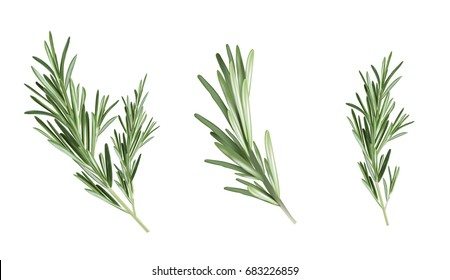 Rosemary Set Illustration. Spice herb rosemary