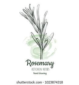 rosemary sketch style illustration for your design eps skech razmorin herb image.