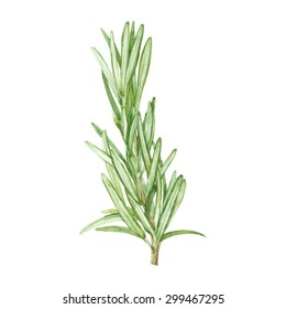 Rosemary. Watercolor hand drawn  illustration.