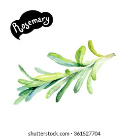 Rosemary watercolor illustration. Kitchen herbs watercolor isolated on white background.