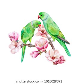 Rose-ringed parakeet. Ring-necked parakeet. Green parrots sitting on a flowering branch of a magnolia isolated on white background.