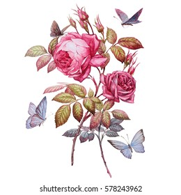 roses. botanical illustration. this picture can be used as background, decoration or object
