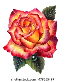 Rose.Watercolor illustration of rose flower. Rose isolated on white background.