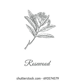 Rosewood skech hand drawing. Branch of a rosewood illustration (Aniba rosaeodora). Pink tree