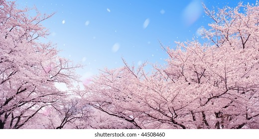 Row of cherry blossoms