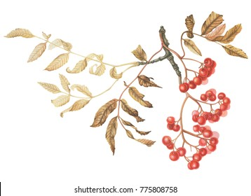 Rowan branch with leaves. Hand drawn illustration. isolated on white. Botanical watercolor.
