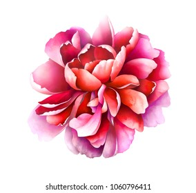 Ruby red peony isolated on white background. Hand drawn watercolor illustration.