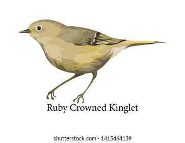 Ruby-crowned kinglet exotic bird. Wild nature. Small cute birdie. Isolated flat  illustration