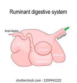 ruminant digestive system. Ruminants' stomach have four compartments: rumen — primary site of microbial fermentation, reticulum, omasum, and abomasum — true stomach. diagram for educational use