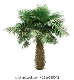 sabal palm tree isolated on white background. 3d illustration