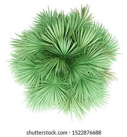 sabal palm tree isolated on white background. top view. 3d illustration