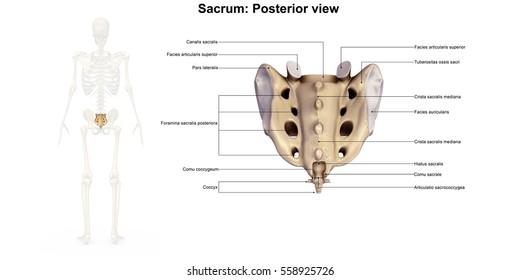 Sacrum posterior view 3d illustration