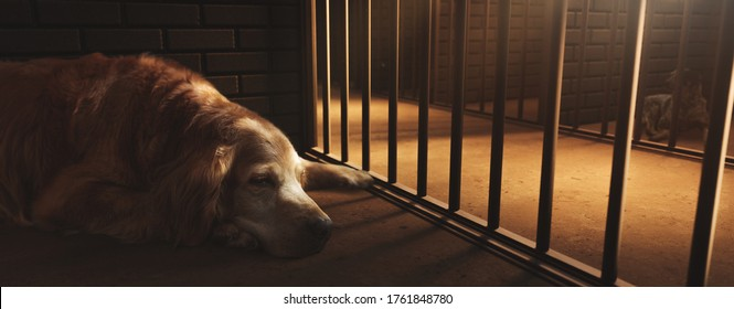 Sad golden retriever in a dog pound cell. (photo composite on 3D Rendering, illustration)