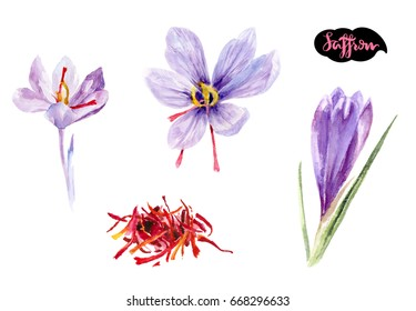 Saffron watercolor illustration. Crocus herb watercolor isolated on white background. Saffron flower.