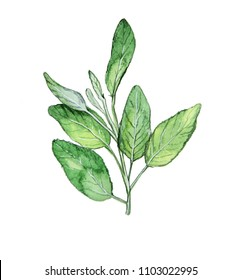 Sage herb watercolor illustration