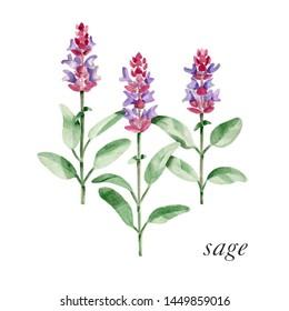 Sage plant aquarelle illustration. Botanical sage plant watercolor image.  Illustration of sage plant in blossom.  Purple blossom of sage plant.