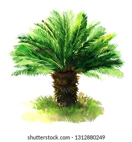 Sago palm tree with green grass, tropical sago cycad, japanese or king sago, isolated, hand drawn watercolor illustration on white background