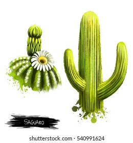 Saguaro fruit with flower isolated on white. Carnegiea gigantea is an arborescent tree-like cactus species in monotypic genus Carnegiea. Fruits of the world collection. Digital art illustration