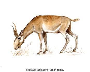 The saiga (Saiga tatarica)