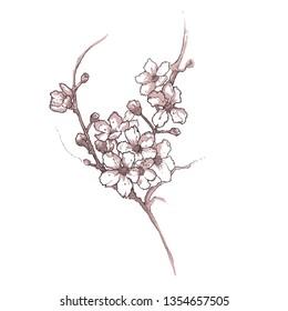 Sakura blooming branch . Cherry flowers on white background . Hand drawn