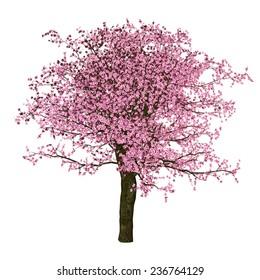 Sakura tree, cherry, isolated