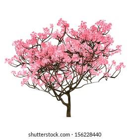 Sakura tree isolated