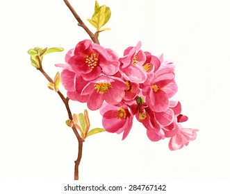Salmon Colored Flowering Quince Blossoms.  Watercolor hand painted illustration of salmon colored or pink flowering quince flowers.