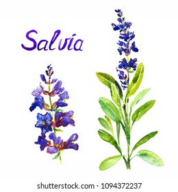 Salvia stem with flowers and leaves, separate flower, isolated on white background hand painted watercolor illustration with inscription