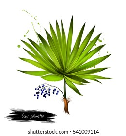 Saw palmetto fruit isolated on white. Serenoa repens sole species classified in genus Serenoa. Fruits highly enriched with fatty acids and phytosterols. Digital art watercolor illustration