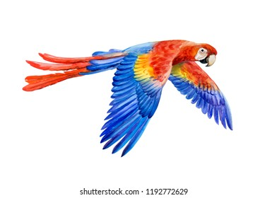Scarlet macaw on the fly, Ara macao, South American parrot in flight isolated on white background. Realistic watercolor. Illustrated. Template. Clip art.