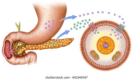 schematic illustration of the pancreas and stomach in insulin levels and blood glucose.