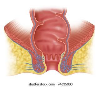 Schematic illustration of rectum