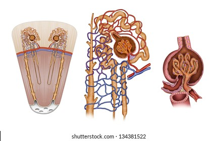 Schematic illustration of the structure of a nephron Kidney